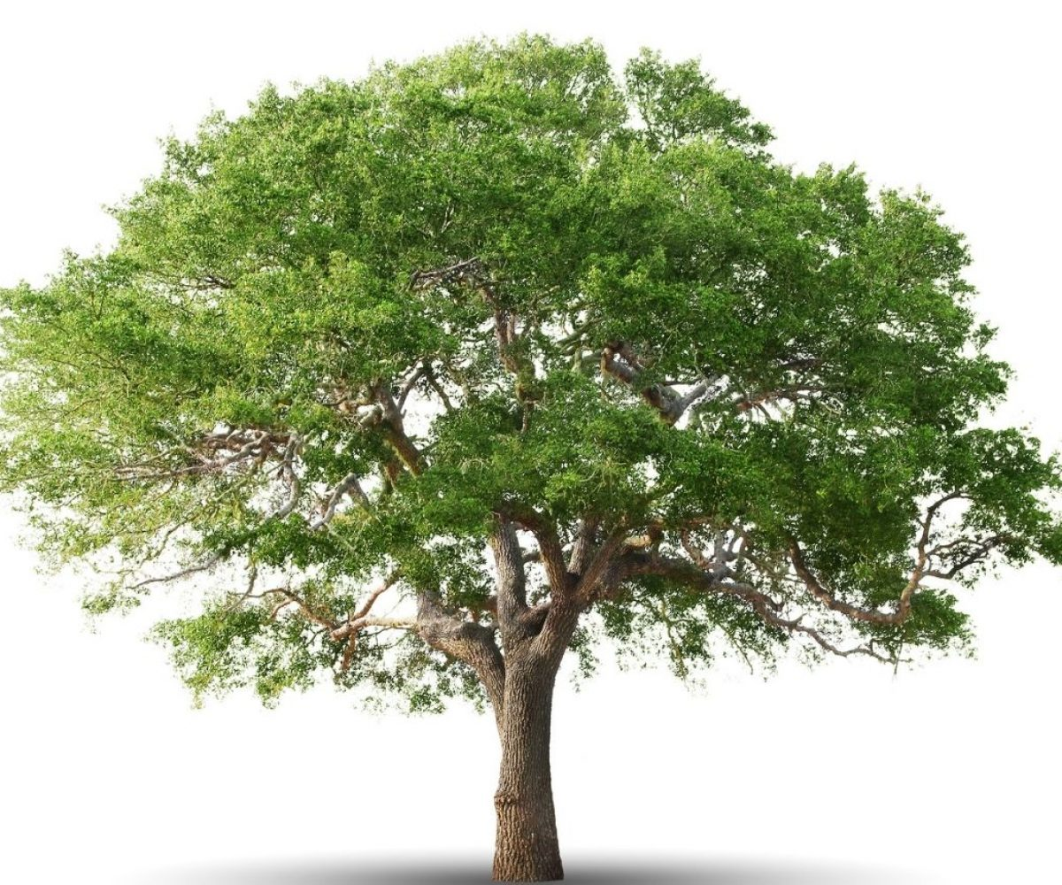 Copy of Tree white background